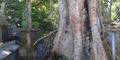 Pohon Keramat di Bali Teteskan Air Mata Usai Ditebang
