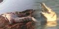 Video Puluhan Buaya Muncul di Sungai Brantas, Sidoarjo