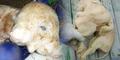 Aneh, Anak Babi di Bali Lahir Punya 2 Kepala & 3 Mata