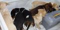 Dokter Hewan Selundupkan Heroin di Dalam Perut Anjing