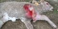 Isu Manusia Serigala Teror Warga Bali, 7 Domba Mati Misterius