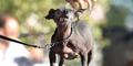 Quasi Modo, Anjing Terjelek di Dunia