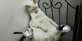 Kucing Malaysia Ini Punya Keseimbangan Luar Biasa