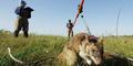 Lembaga Sosial Belgia Latih Tikus Agar Bisa Deteksi Bom