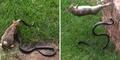Video Induk Kelinci Kalahkan Ular Demi Lindungi Anaknya