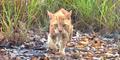 Australia Bantai 2 Juta Kucing Liar Untuk Lindung Spesies Lokal