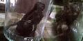 Cari Udang di Bengawan Solo, Widodo Temukan Jenglot