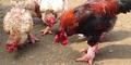 Dong Tao, Ayam Raksasa Vietnam Harga Rp 33 Juta