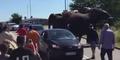 Gajah Sirkus Disiksa Pawang Kabur, Ngamuk Rusak Mobil