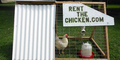 Harga Telur Mahal, Pasutri Amerika Buka Jasa Rental Ayam