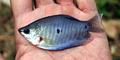 Ikan Sepat Berlafadz 'Allah' Muncul di Pademangan