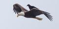 Langka, Gagak 'Numpang' Terbang di Punggung Elang