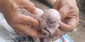 Mirip Dajjal, Bayi Babi Mata Satu Gegerkan Warga Bali