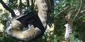 Momen Langka Ular Piton 3 Meter Santap Kelelawar Besar
