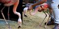 Semangat Hidup Burung Flamingo Dengan Kaki Palsu