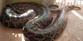 Ular Piton Raksasa Panjang 5,5 Meter Disuntik Mati di Florida