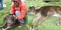 Anak Sapi Berkepala Dua 'Pembawa Sial' Lahir di Peru