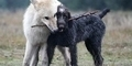 Anjing Evolusi Jadi Serigala Karena Iklim Dingin