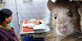Bayi Baru Lahir di India Tewas Digigit Tikus di Rumah Sakit