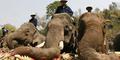 Gajah Ngamuk, Pawang Tewas Diinjak Lalu Bawa Kabur 3 Turis