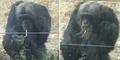 Jia Ku, Simpanse Tiongkok yang Gemar Merokok