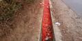 Kecewa Harga Tomat Rp 200 per Kg, Petani Garut Buang Hasil Panen