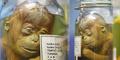 Pameran Bayi Orangutan Diawetkan di Ancol Dikecam Dunia