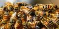 Pekerja Bangunan di California Tewas Disengat Lebah
