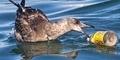 Dikira Telur Ikan, 90 Persen Burung Laut Makan Plastik