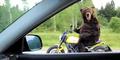 Video Beruang Naik Ducati Hebohkan Netizen!