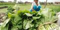 Dari Karyawan Gaji Rp 4 Juta, Dodih Jadi Petani Sayur Beromzet Puluhan Juta