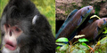 Ditemukan Spesies Baru: Monyet Bersin & Ikan Berjalan