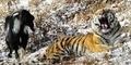 Aneh, Harimau Ini Jadikan Kambing Makanannya Sebagai Sahabat