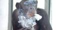 Biarkan Simpanse Merokok, Kebun Binatang Amerika Diprotes