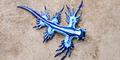 Ditemukan 'Naga Biru' Mematikan di Pantai Australia