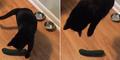 Ini Alasan Kucing Sangat Takut Mentimun
