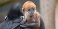 Langka, Inilah Jenis Monyet yang Lahir Berwarna Oranye