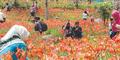 Pemilik Taman Bunga Amarilis Raup Rp 5 Juta Sehari