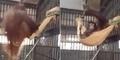 Cerdas, Orangutan Membuat Kasur Melayang di Kandang