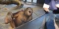 Ngakak, Orangutan ini Terpingkal-pingkal Lihat Trik Sulap