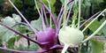 Mengenal Kohlrabi, Sayuran Super Tahun Ini