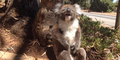 Sedih Tapi Lucu, Koala Menangis Dibully Temannya
