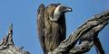 Warga Lebanon Tangkap Burung Bangkai Diduga Mata-mata Israel