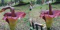 Bunga Bangkai di Kebun Raya Rusak Bukti Orang Indonesia Biadab