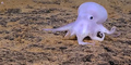 Ditemukan Gurita Misterius Mirip 'Hantu Casper'
