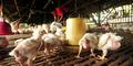 Kenali Gejala Flu Burung & Cara Menghindarinya