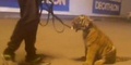 Pawang Mabuk Ajak Harimau ke Mal Didenda Rp 1 Juta