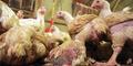 Perbedaan Flu Biasa, Flu Burung Hingga Flu Babi