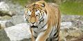 Jumlah Harimau Liar Meningkat untuk Pertama Kalinya