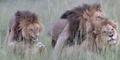LGBT di Dunia Satwa: 2 Singa Gay Asyik Bercinta